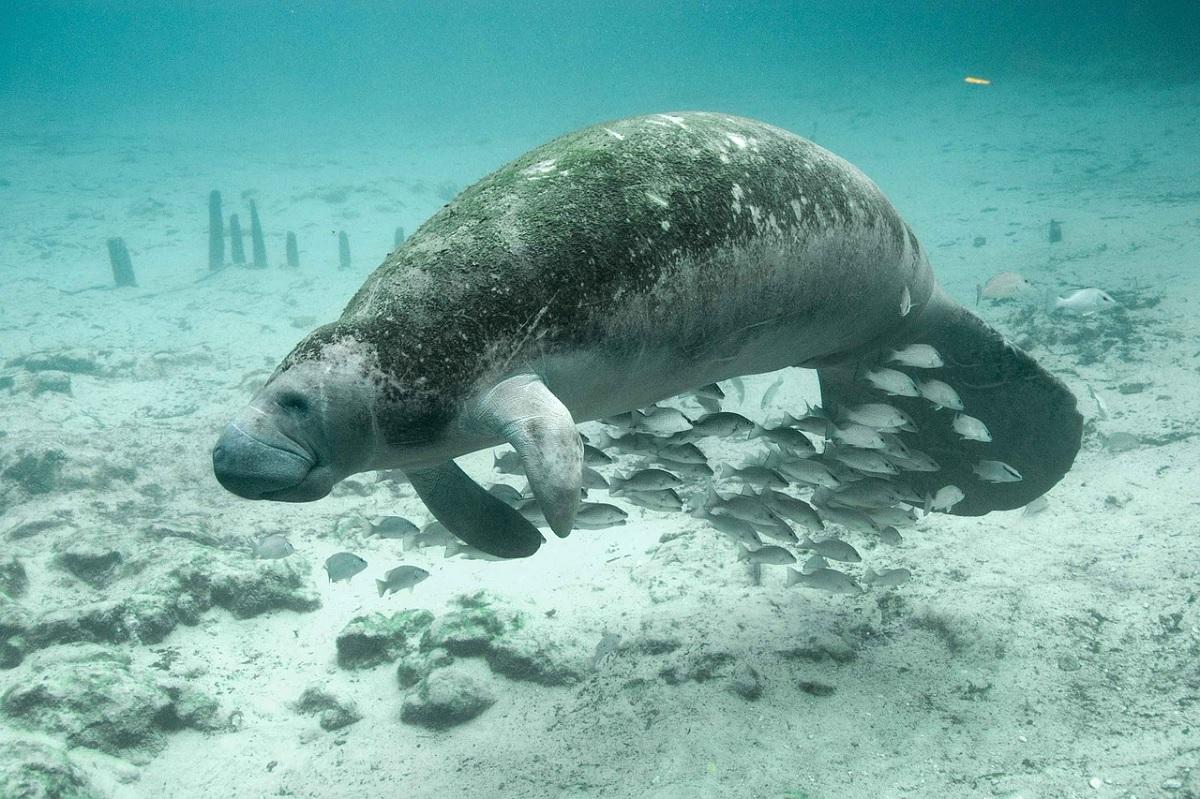 Pele do peixe-boi-marinho possui 500 mil vermes