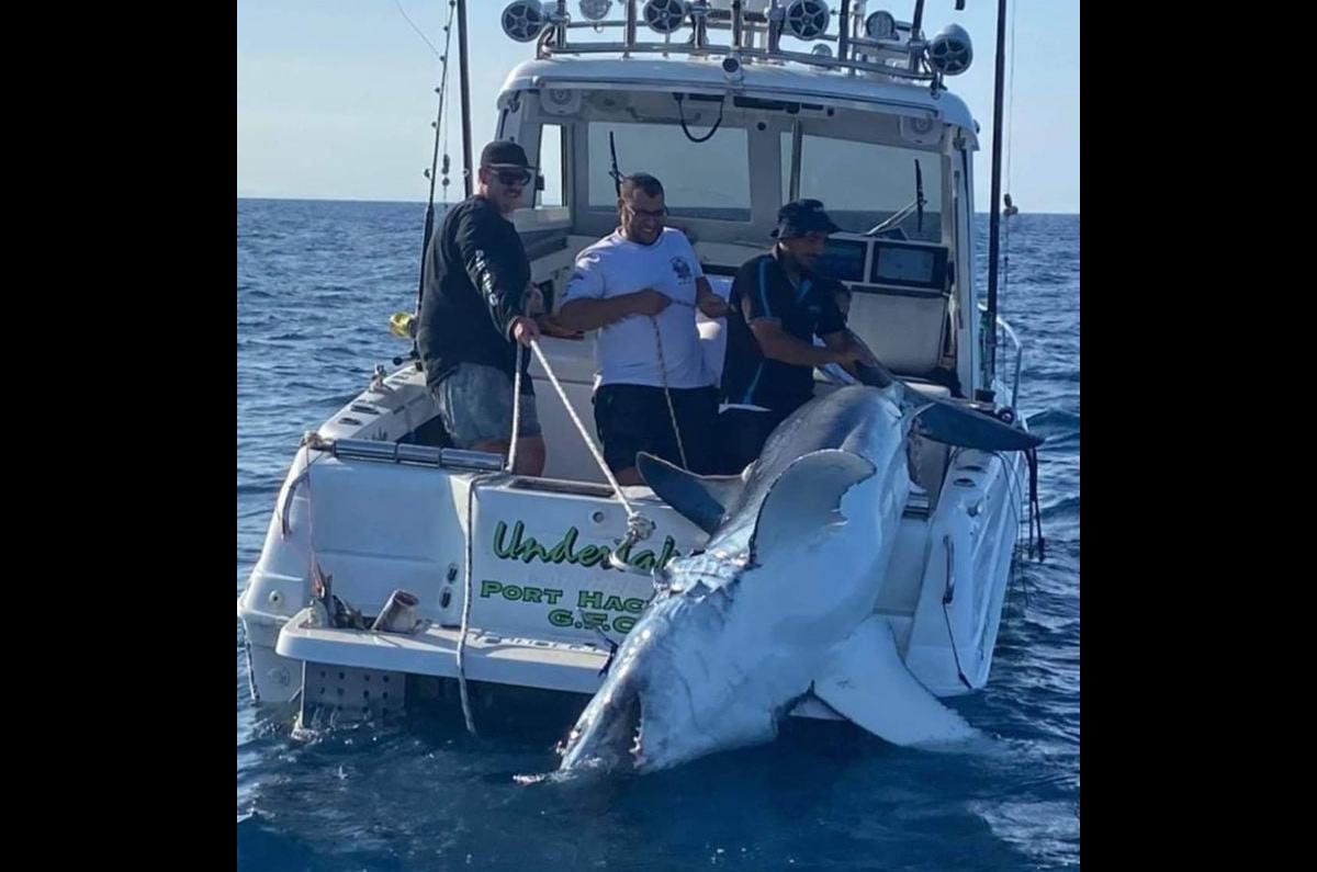 Tubarão-tigre gigante pescado na costa da Austrália para a internet