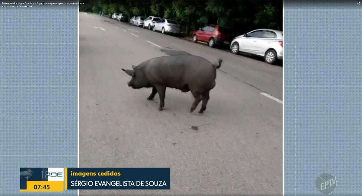 Porco caminha por avenida e é escoltado pela polícia