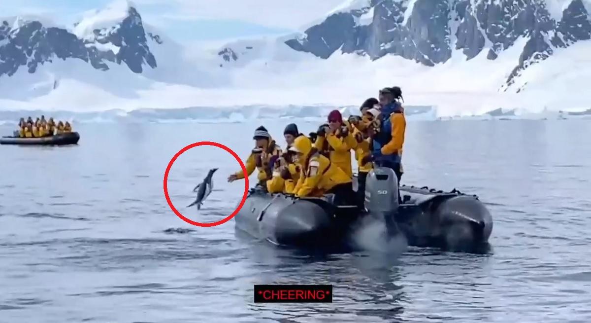 Turistas flagram pinguim fugindo de ataque de baleias orcas