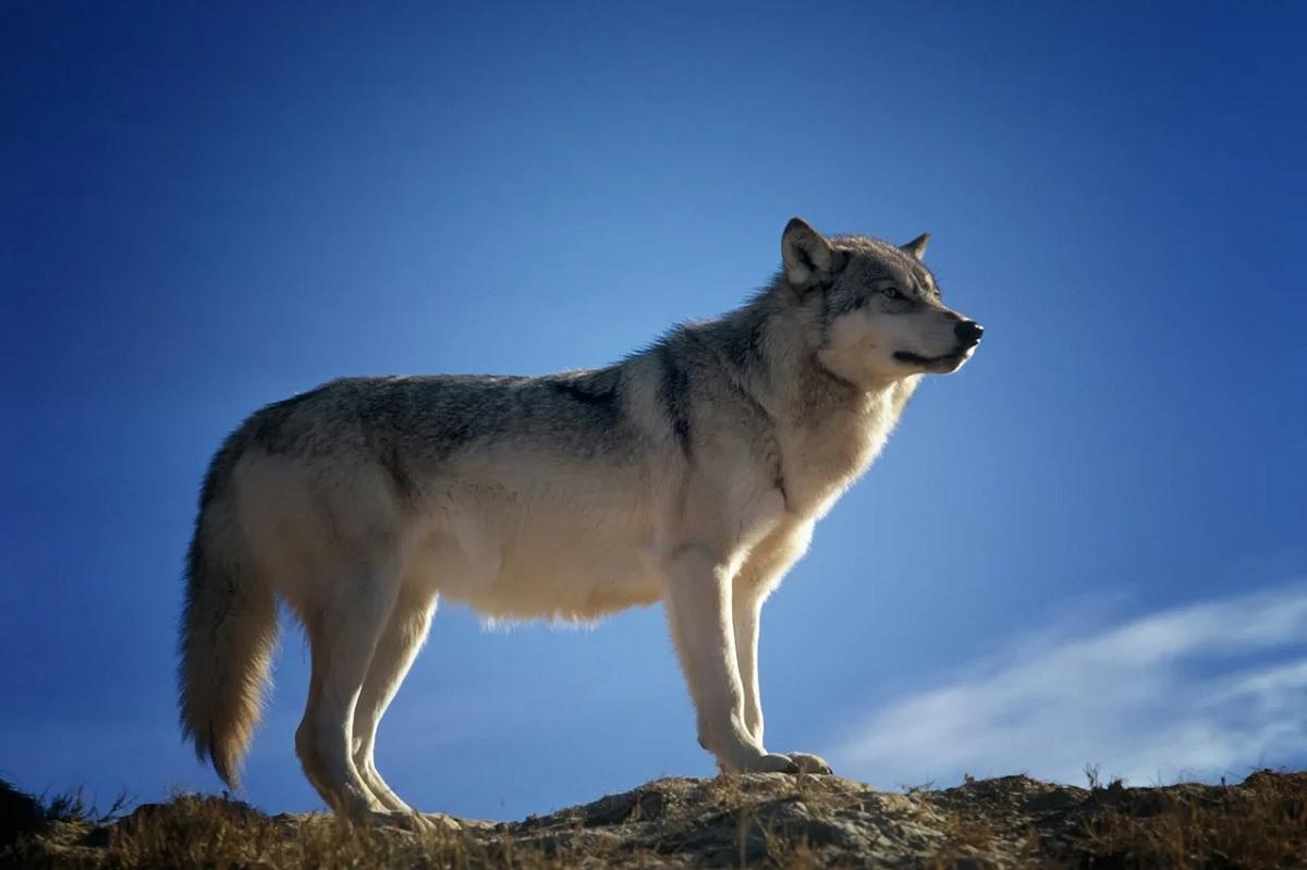 Americana descobre que seu cão adotado é um lobo
