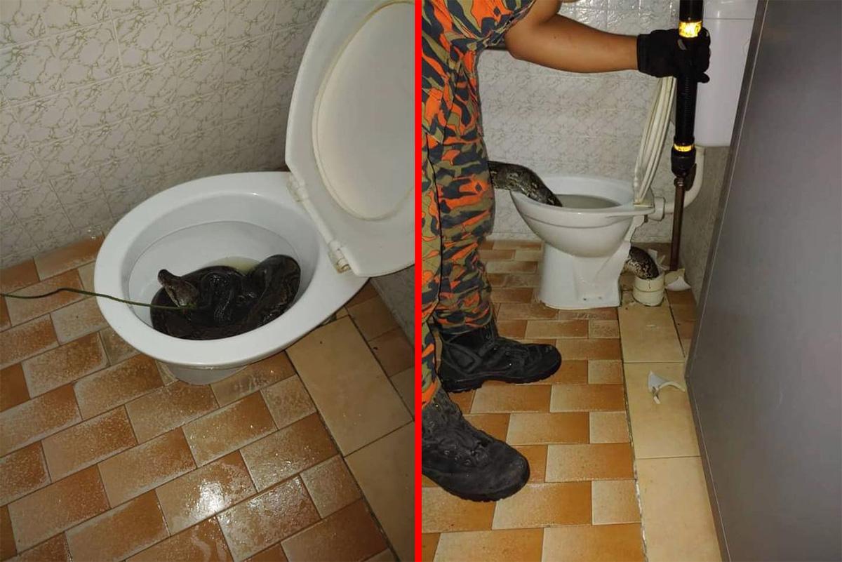 Cobra gigante morde bunda de homem em privada na Tailândia