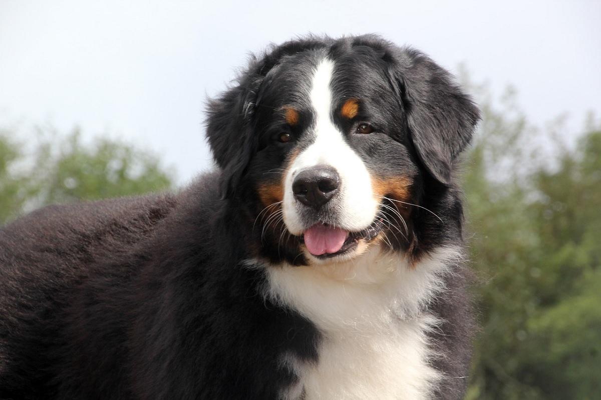 Três raças de cachorros são mais propensas a câncer no sangue