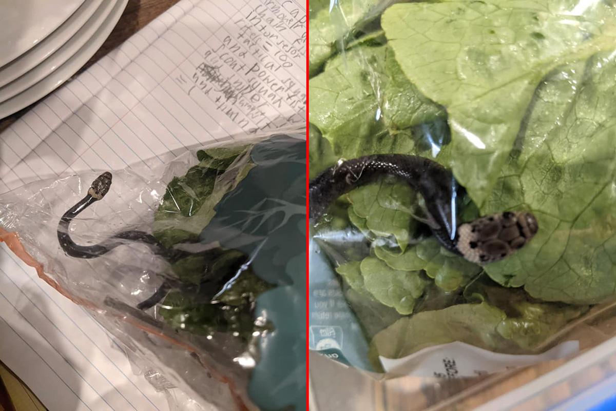 Australiana compra alface com filhote de cobra venenosa dentro