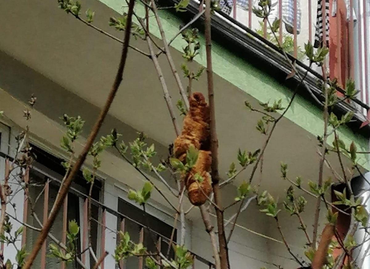 Criatura misteriosa presa em árvore na Polônia era um croissant