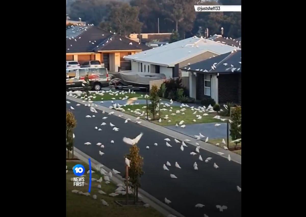 Cena de Os Pássaros de Hitchcock? Milhares de cacatuas invadem cidade na Austrália