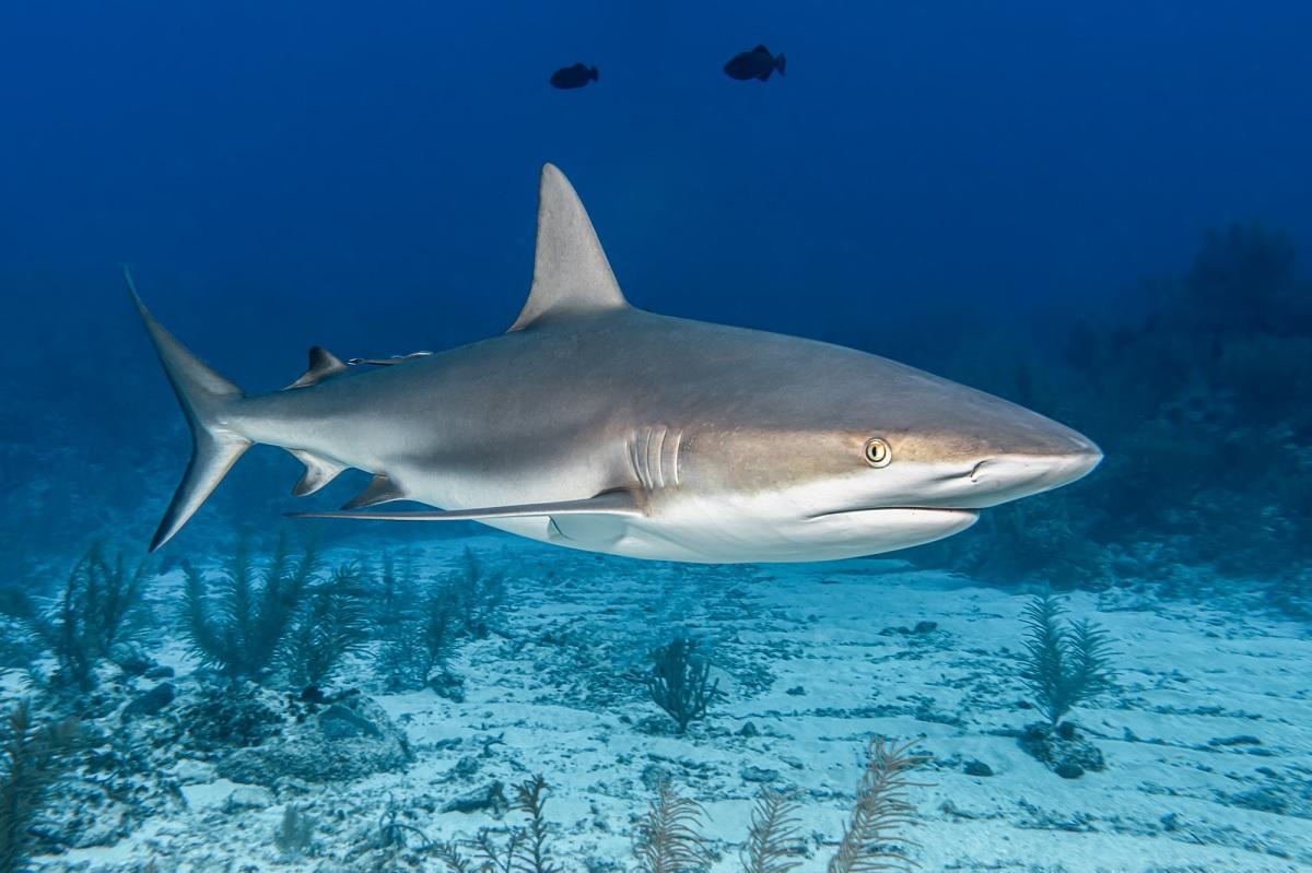 """Cientistas confirmam que tubarões possuem """"GPS natural"""""""