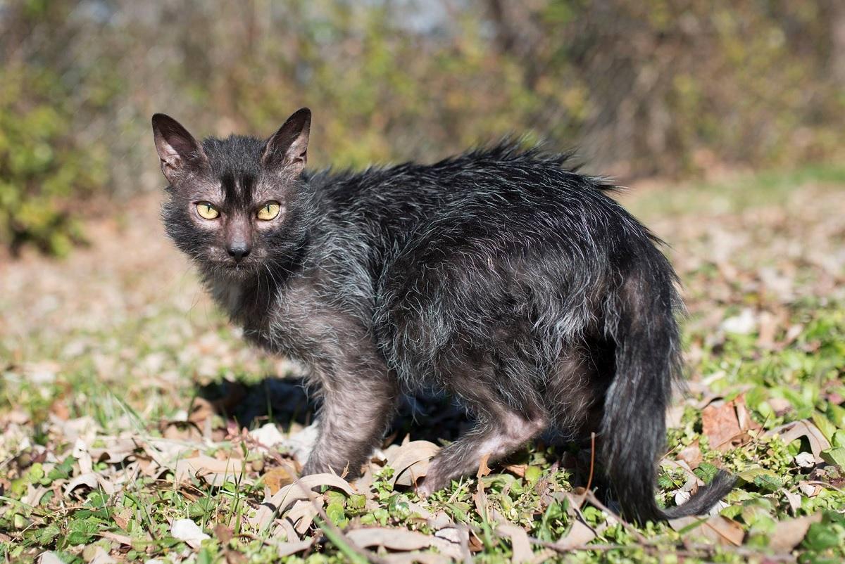 Gatinha que parece ter sarna é de uma raça muito rara