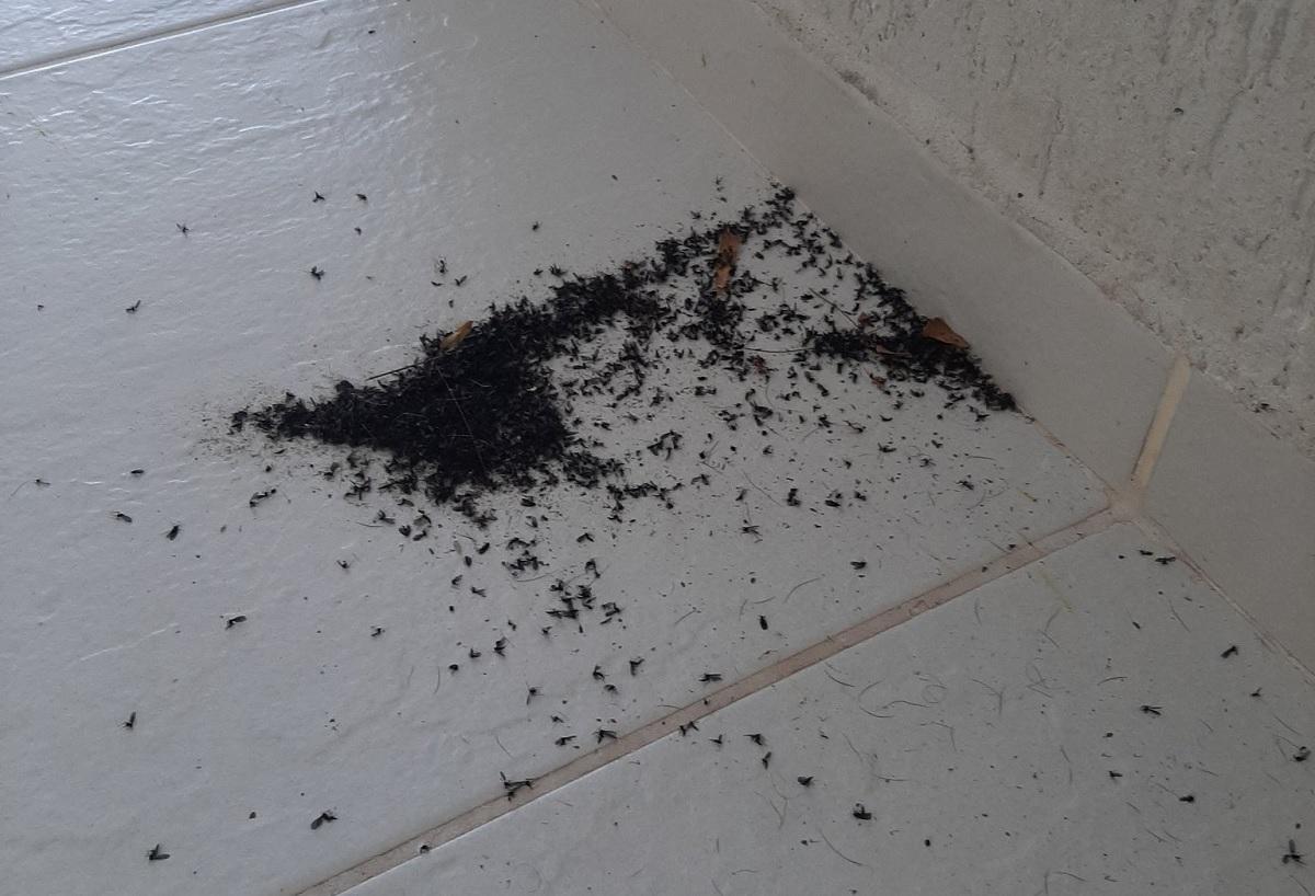 """Invasão de """"mosquitos"""" pretos intriga moradores do Rio e de Niterói"""
