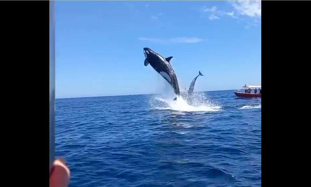 Veja o impressionante salto de uma baleia orca no México
