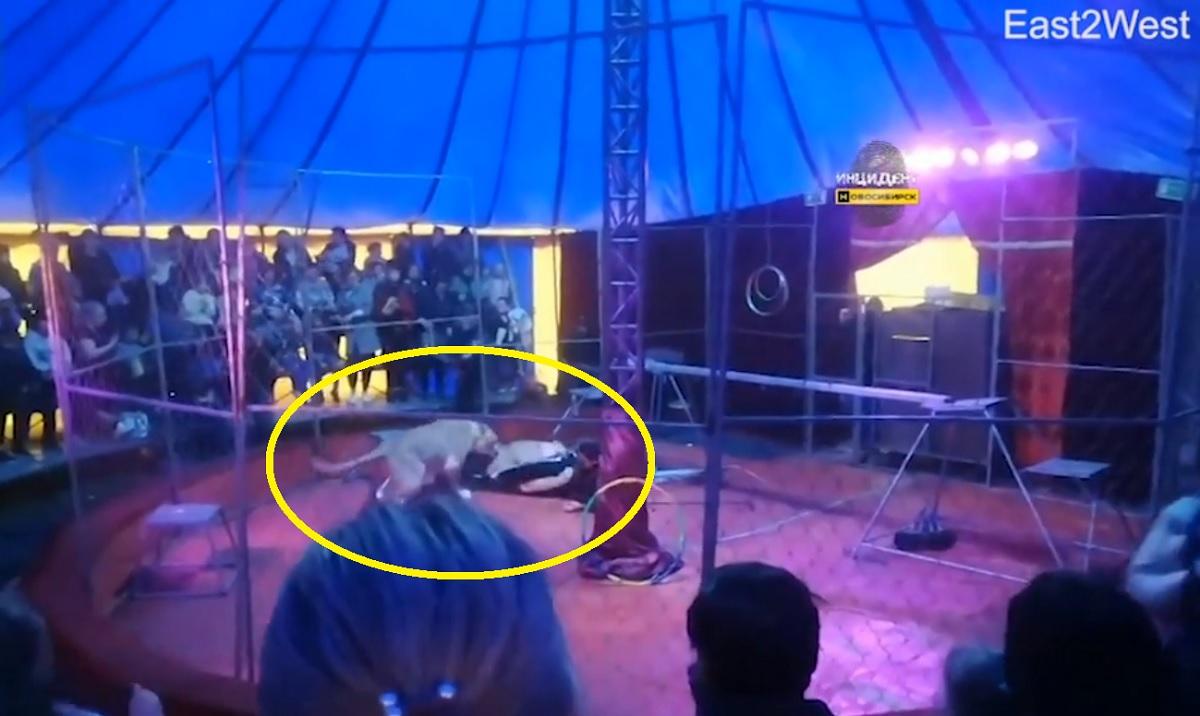 Vídeo mostra domador sendo atacado por leoa em circo na Rússia