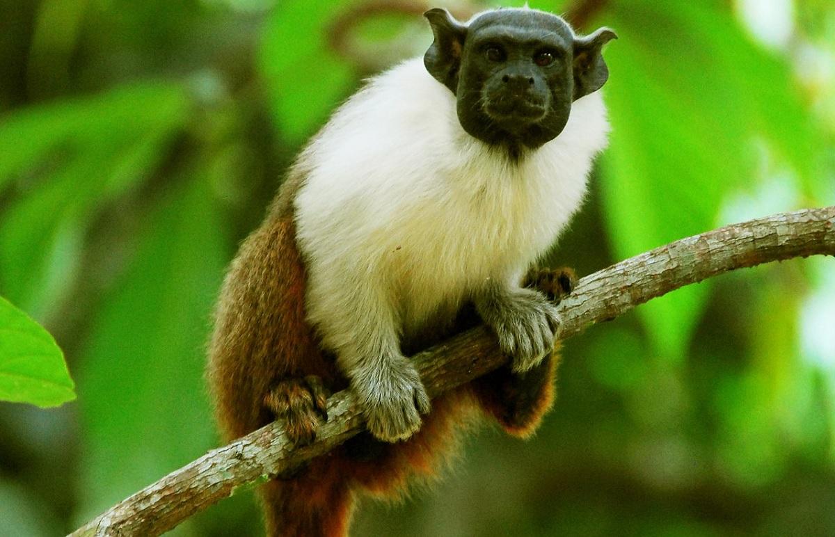 """Macaco da Amazônia cria """"sotaque"""" para falar com vizinho"""