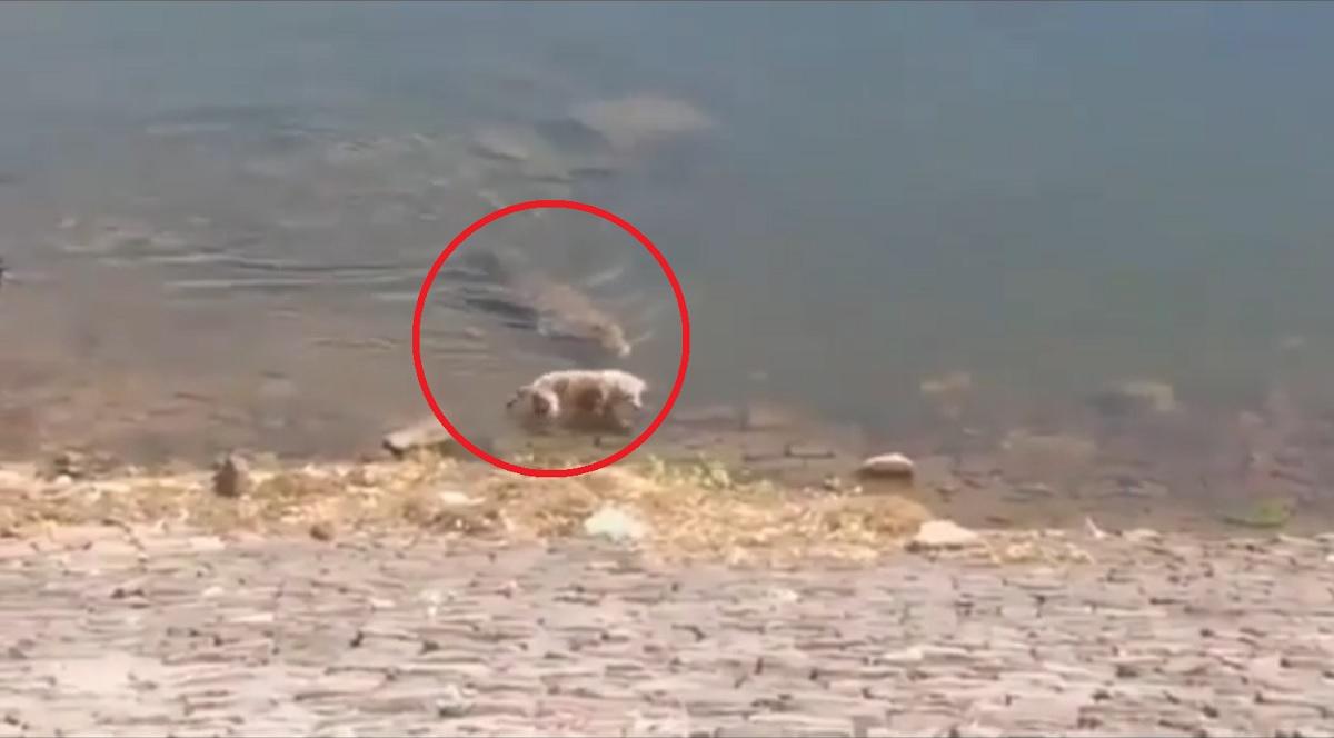 Vídeo mostra ataque de crocodilo a um cachorro no rio Chambal, na Índia