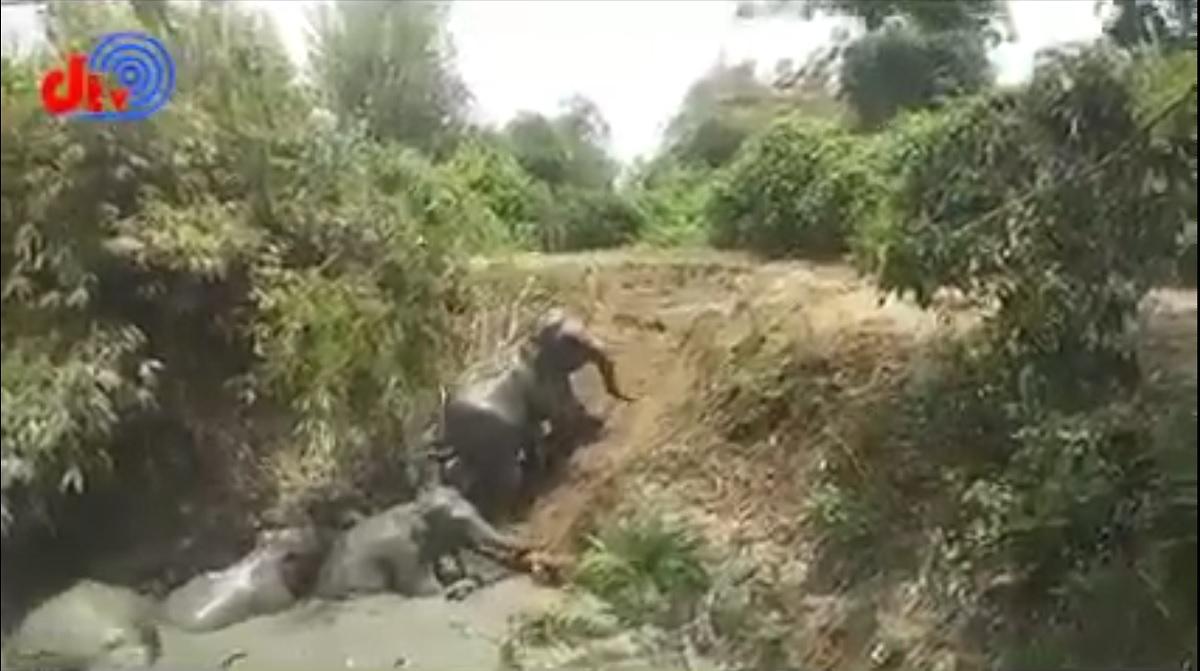 Assista ao emocionante resgate de elefantes presos num fosso de lama
