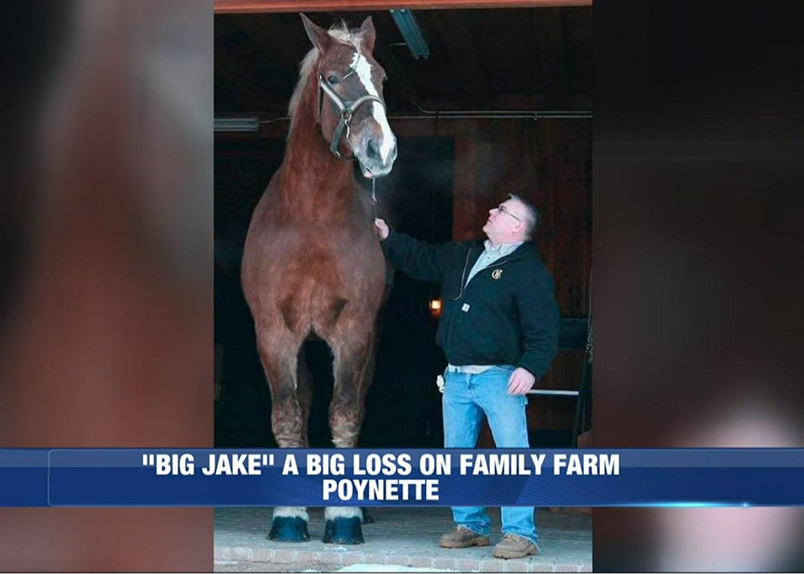 Aos 20 anos, morre Big Jake, o cavalo mais alto do mundo
