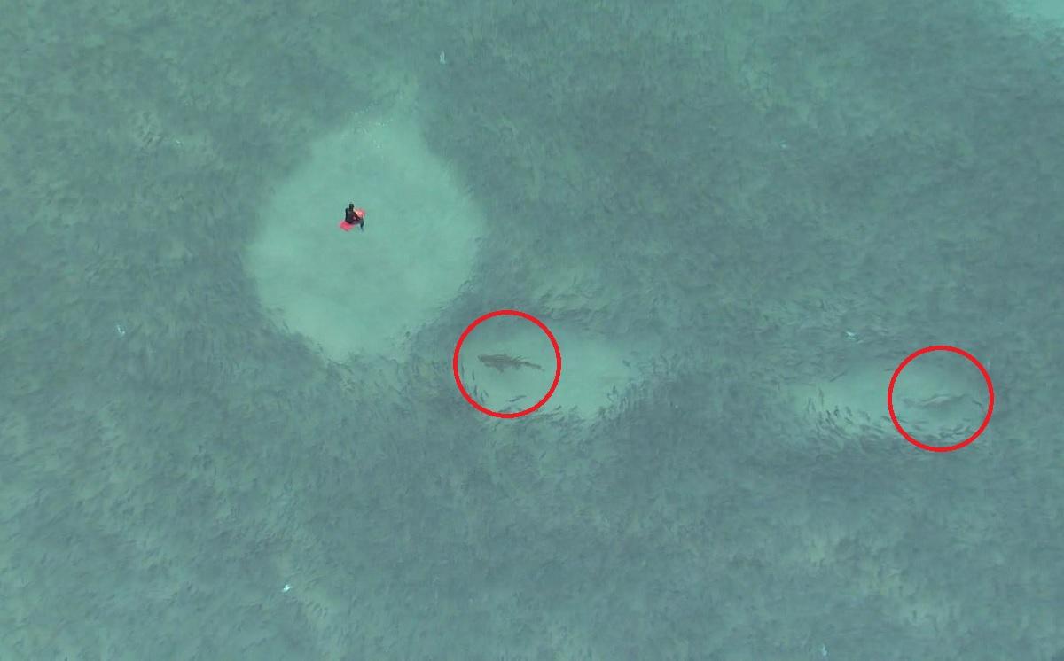 Vídeo assustador: tubarões se alimentam debaixo de surfistas na Austrália