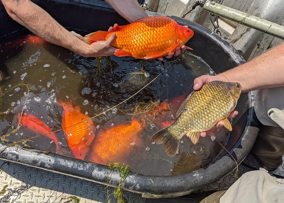 """Bonitinhos e """"perigosos"""": peixes dourados ameaçam lagos e lagoas nos EUA"""