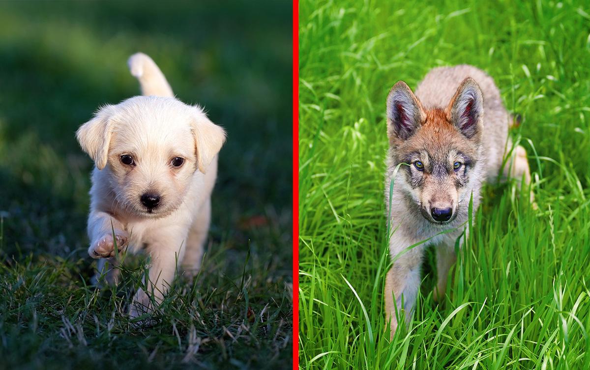 Filhotes de lobo nunca serão como os cães, afirmam os cientistas