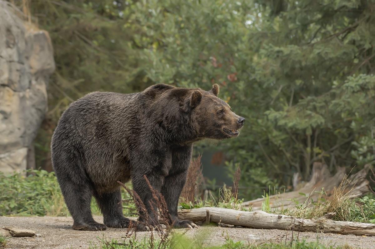 Guarda Costeira dos EUA salva homem que estava sendo caçado por urso
