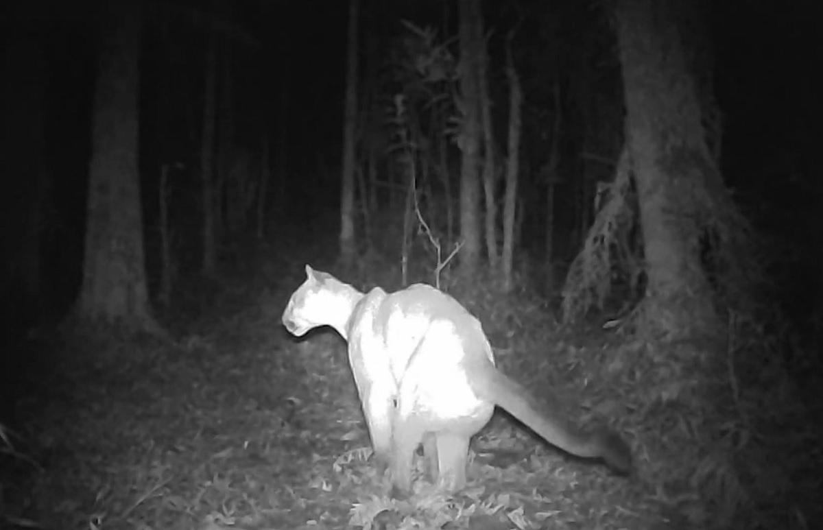 Câmera flagra onça-parda no Parque Estadual dos Três Picos, no RJ