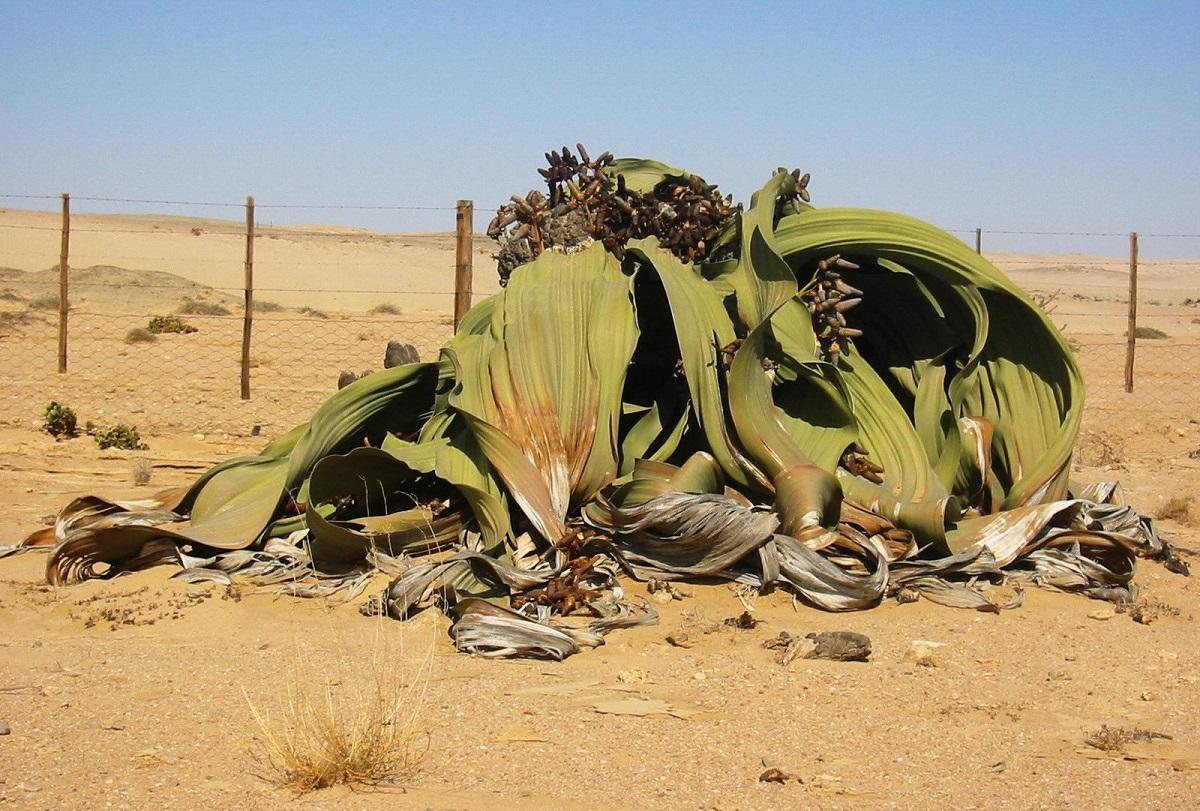 DNA adaptado ao clima extremo faz planta viver 2.000 anos na África