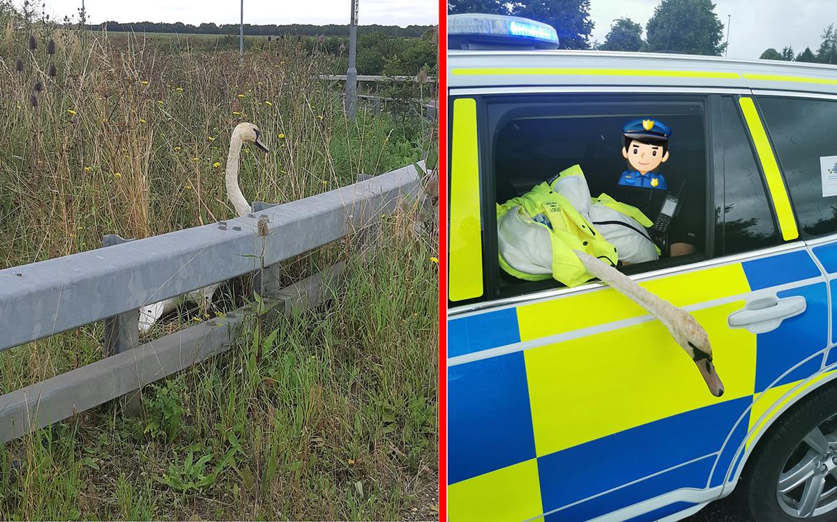 """Cisne é """"preso"""" por atrapalhar o trânsito no Reino Unido"""
