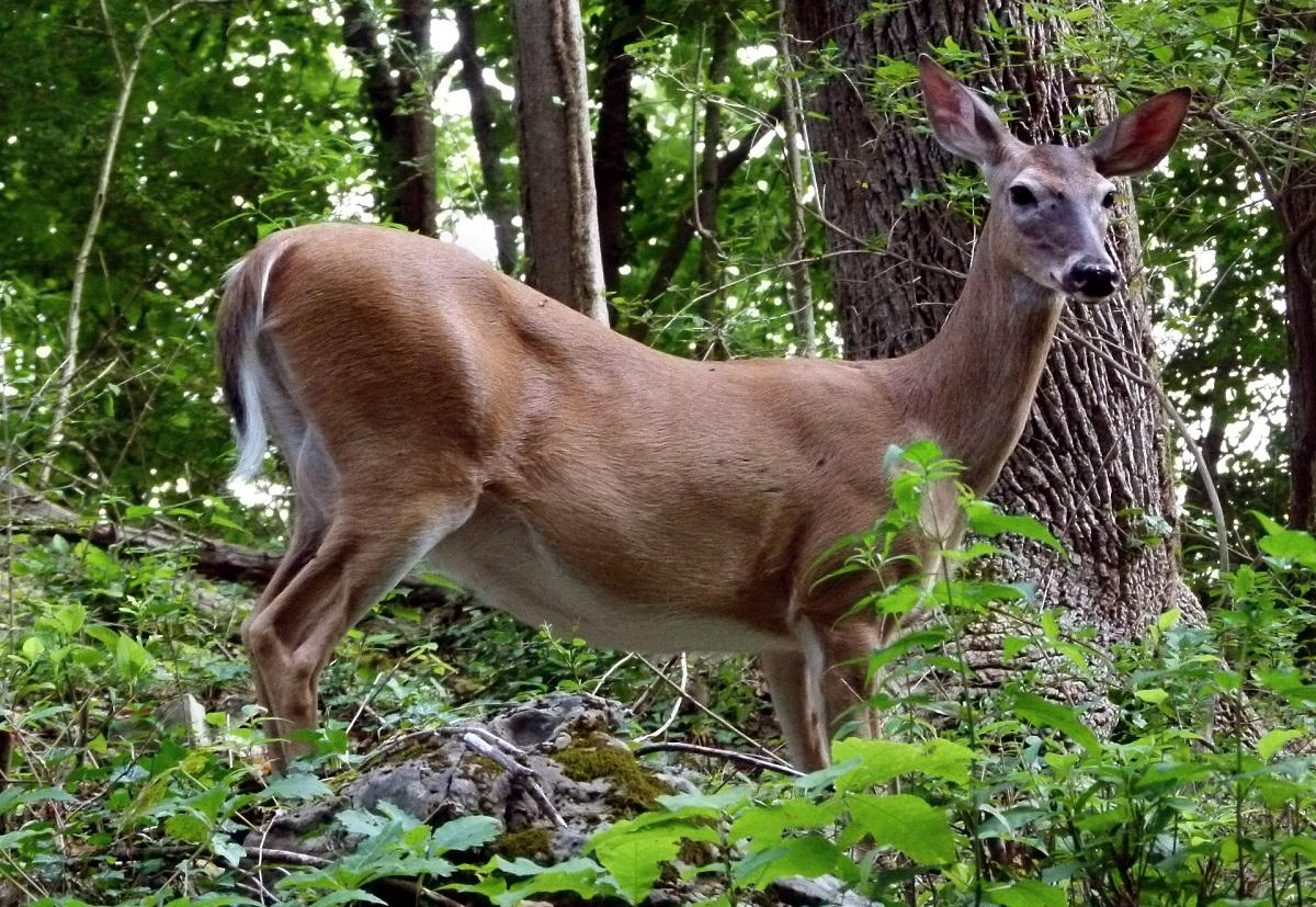 Anticorpos para coronavírus são descobertos em cervos nos Estados Unidos