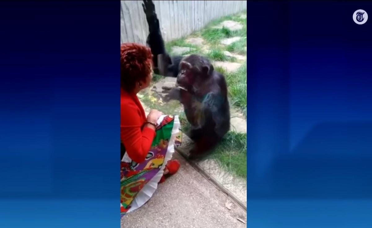 """Mulher é proibida de se """"relacionar"""" com chimpanzé em zoológico belga"""