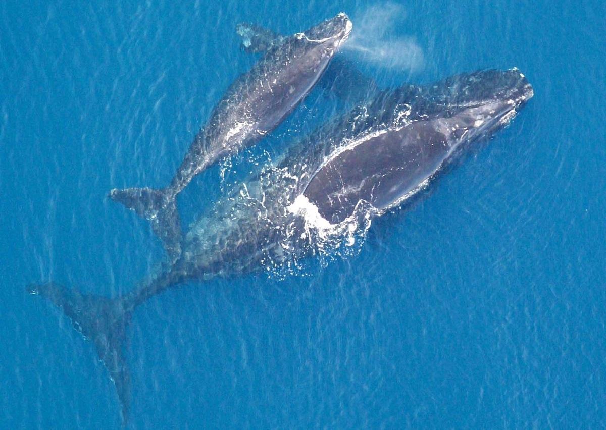 Aquecimento global está causando a extinção acelerada das baleias-francas