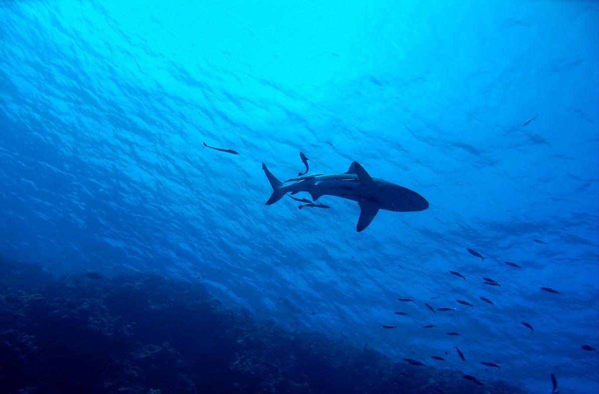 Mais um ataque de tubarão na Austrália, mas desta vez, fatal