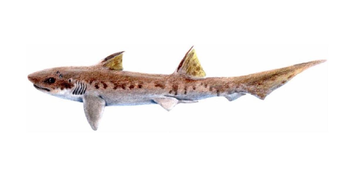 Fóssil de nova espécie de tubarão ancestral é descoberto na Índia