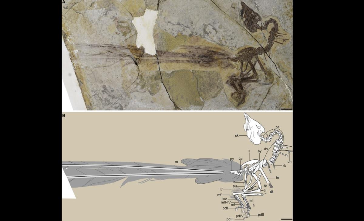 Fóssil raro de ave que viveu há 120 milhões de anos revela cauda enorme e nada prática
