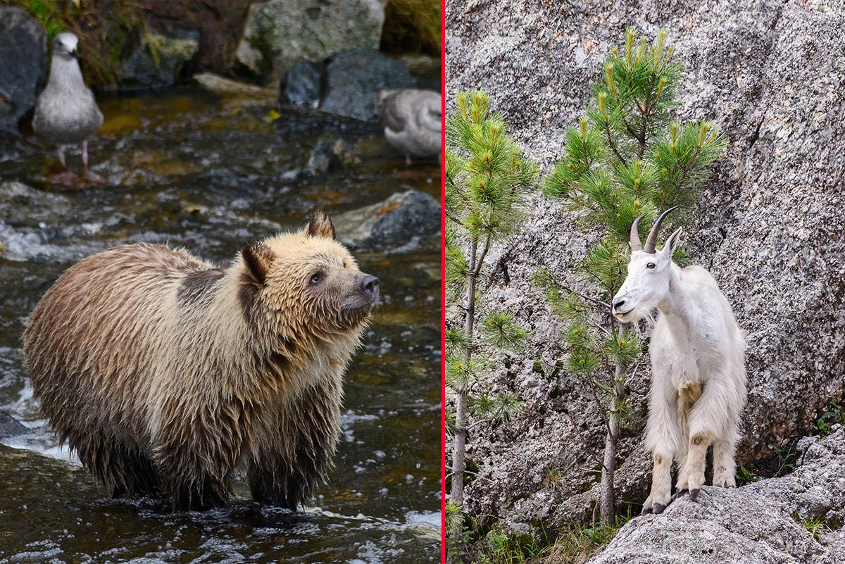 Cabra mata urso-pardo em parque do Canadá