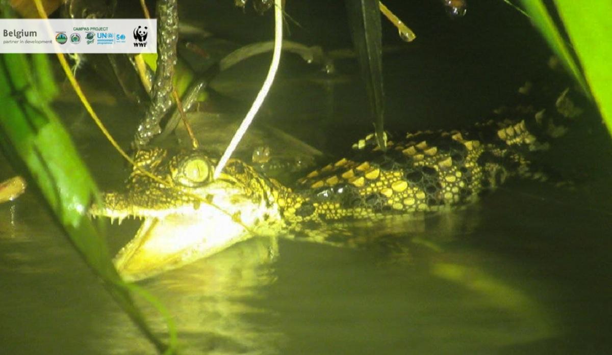 Filhotes de rara espécie de crocodilo são avistados no Camboja