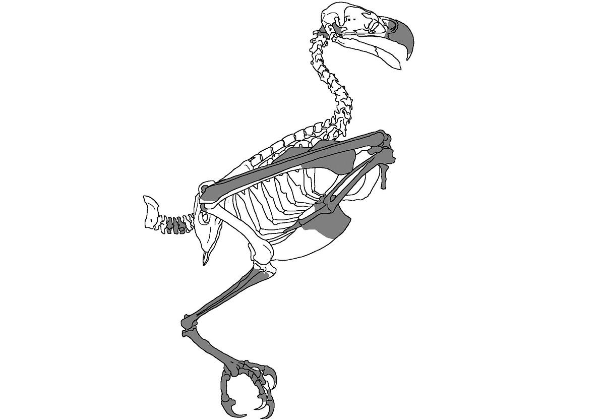 Descoberto na Austrália fóssil de ave de rapina de 25 milhões de anos