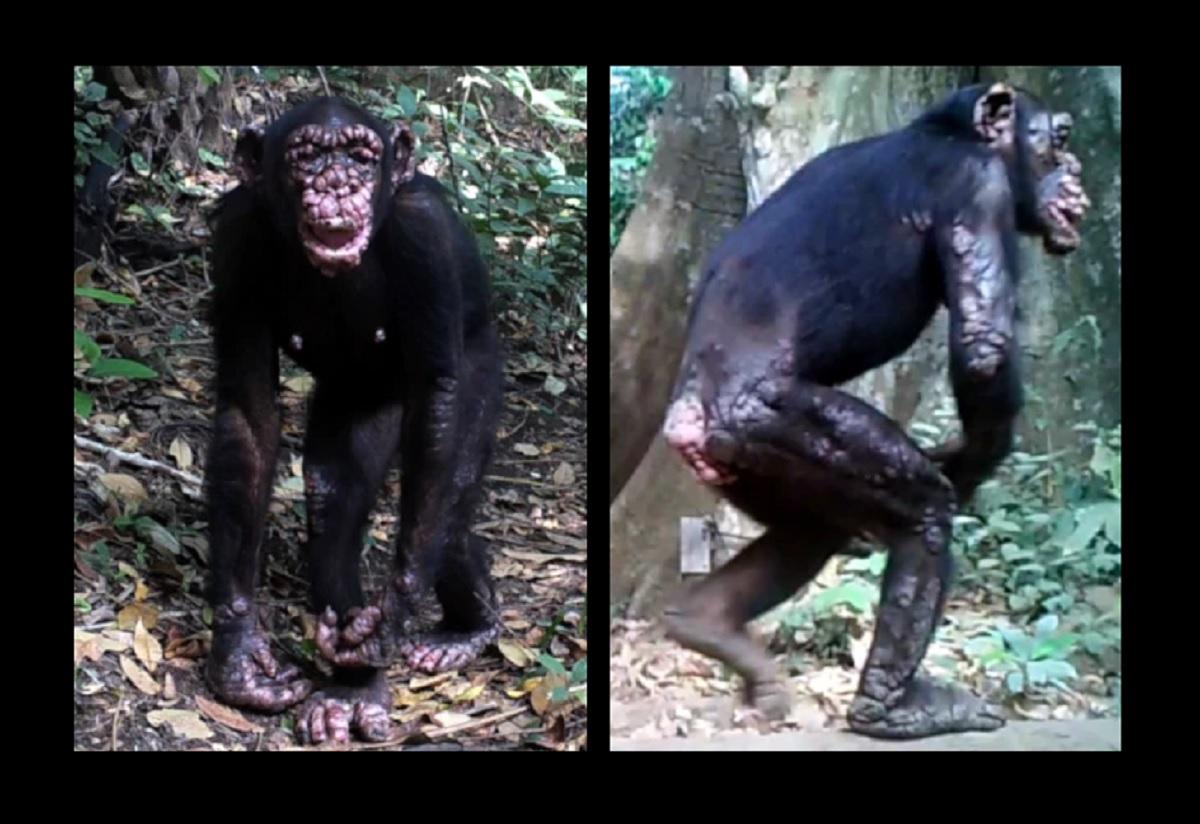 Cientistas detectam lepra em chimpanzés selvagens pela 1ª vez